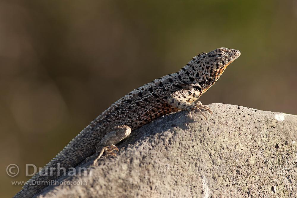 A galapagos lava lizard (Microlophus albemarlensis) on Santa Fe Island, Galapagos Archipelago - Ecuador.