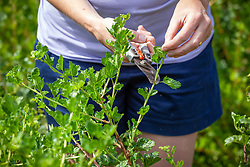 Summer pruning a gooseberry bush. Shortening the new shoots back to five leaves