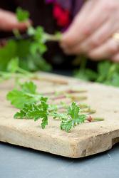 Pelargonium cuttings ready to plant