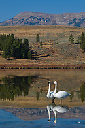 Two swans sit in a lake at Yellowstone National Park.