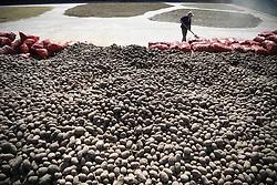 Oct. 4, 2018 - Guyuan, China - A farmer arranges potatoes in Huoshizhai Township of Xiji County of Guyuan City, northwest China's Ningxia Hui Autonomous Region. After years of development, industries of processing potato starch, vermicelli and chips have been built in Xiji.   (Credit Image: © Wang Peng/Xinhua via ZUMA Wire)