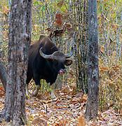 Gaur (Bos gaurus). Angry bull from Tadoba NP, India.