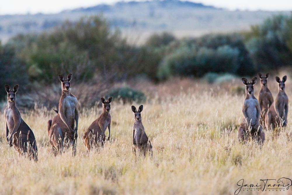 A congregation of western kangaroos ( Macropus fuliginosus) gathered together while feeding in the early morning,  Sturt Stony Desert,  Australia