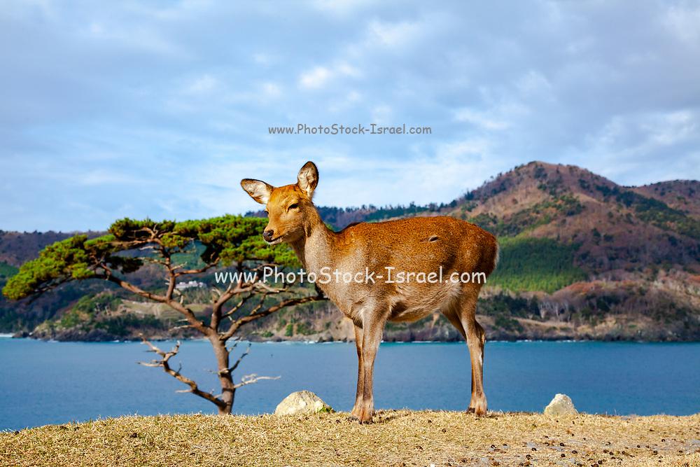 Sika deer (Cervus nippon), also known as the spotted deer or the Japanese deer. Photographed on Kinkasan (or Kinkazan) island in Miyagi Prefecture in north-eastern Japan in November