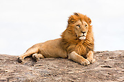 lion (Panthera leo) on a rock boulder Photographed in Tanzania