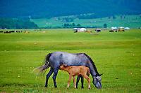 Mongolie, Arkhangai, campement nomade, chevaux // Mongolia, Arkhangai province, nomad camp, horses