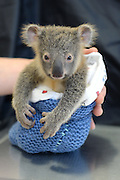 Wake up Mum. Are you feeling better?: Adorable moment baby koala hugs his mother as she undergoes emergency surgery after being hit by a car<br /> <br /> The touching moment a baby koala nestles up to his mother during her life-saving surgery after she was hit by a car has warmed hearts at Australia Zoo.<br /> The baby joey and his mother were hit by a car in Brisbane's west in Queensland on Sunday.<br /> While six-month-old Phantom escaped without injury, his mother Lizzy suffered a collapsed lung and underwent emergency surgery to have it drained.<br /> <br /> The pair were run down by a car on the Warrego Highway at Coominya<br /> <br /> Fortunately, neither of the animals broke any bones and 420-gram Phantom walked away with next to no injuries.<br /> Lizzy sustained a collapsed lung and underwent a procedure at the Australia Zoo Wildlife Hospital to have it drained.<br /> <br /> <br /> Her joey clung to her through the entirety of the operation and has been pictured holding her chin with his tiny paw.<br /> Lizzy made it through the procedure and is currently on antibiotics.<br /> Baby Phantom has not left her side and has been pictured perched on her head while she rests in recovery. <br /> ©Ben Beaden/Exclusivepix Media