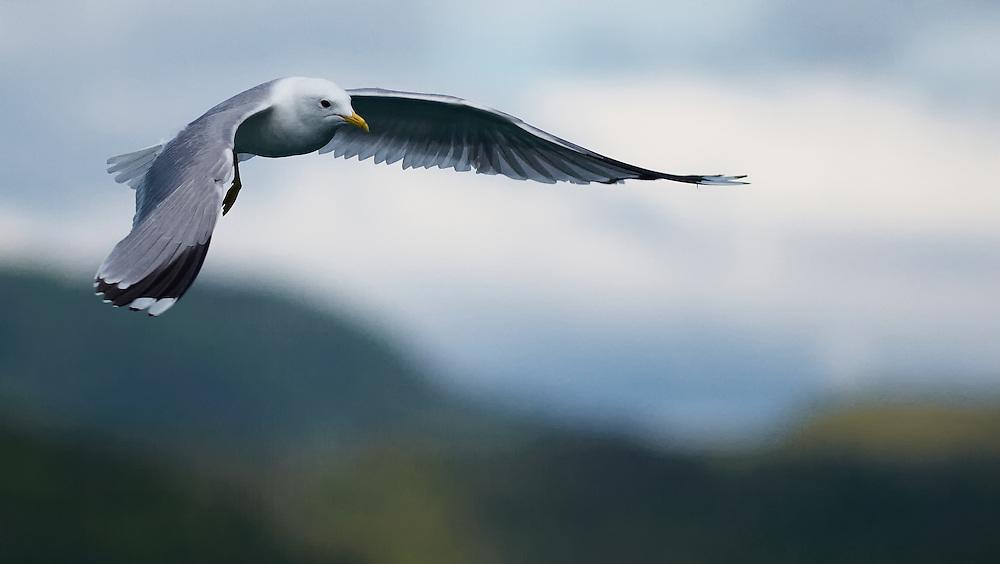 Norway - Seagull over Karihavetfjord