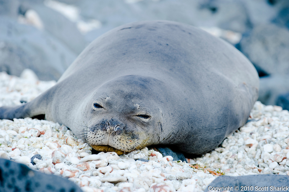 A Hawaiian Monk Seal rests on small white rocks.