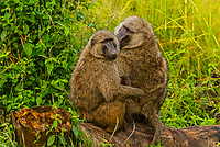 Baboons, Murchison Falls National Park, Uganda.