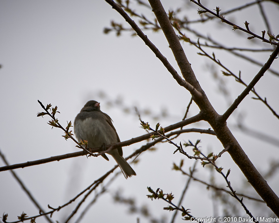 Dark-eyed Junco in a tree. Image taken with a Nkkon D3x camera and 200-400 mm f/4 VR lens (ISO 100, 400 mm, f/4, 1/800 sec)