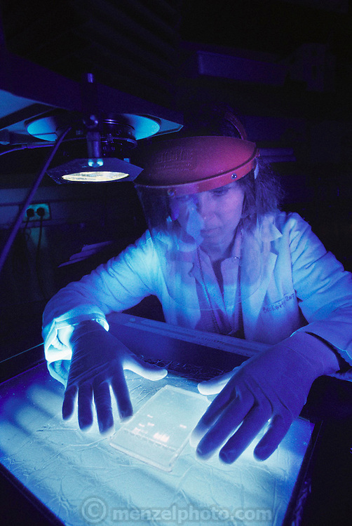 Scientist works in a darkroom; preparing to photograph an agarose electrophoresis gel used in mapping DNA extracted from chromosomes of the bacteria Escherichia coli. DNA mapping refers to a physical survey of each of an organism's chromosomes in an attempt to locate genes or other landmarks. Mapping and sequencing (decoding the DNA base-pair sequences of chromosomes) are the two phases of the human genome project, an ambitious plan to reveal all of the information encoded in the 23 pairs of human chromosomes.  Dr Jonathan Beckwith's laboratory at Harvard, USA, May 1989.