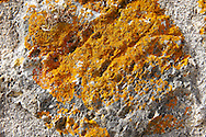 Orange Lichen [ Xanthoria parietina ] on limestone rock