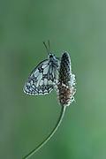 Marbled White Butterfly, Melanargia galathea, Leybourne Lakes Country Park, Kent UK, resting on plantin underside of wings