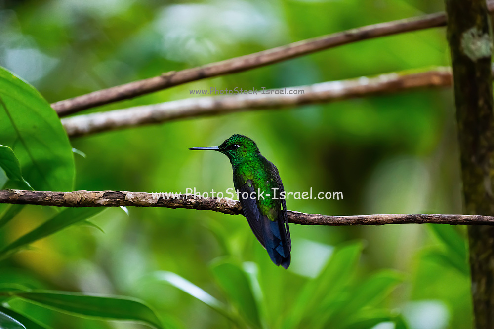 A male green-crowned brilliant hummingbird (Heliodoxa jacula) on a branch as seen from behind in the Costa Rican rainforst