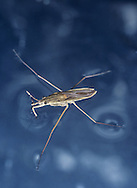Pond Skater - Gerris lacustris