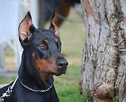 Israel, Tel Aviv, The International Dog Show 2010 Doberman Pinscher