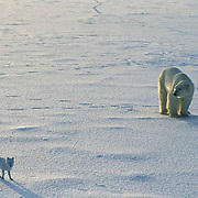 Polar Bear, (Ursus maritimus) Adult with arctic fox following and scavenging. Churchill, Manitoba. Canada.