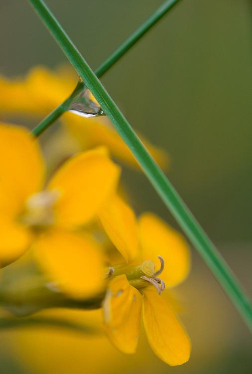 Western wallflower (Erysimum capitatum), rain drop, Olympic National Park, Washington, USA