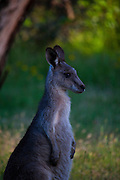 Young Eastern Grey Kangaroo, at Tom Groggins, Mount Kosciuszko National Park