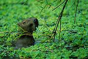 Capybara eating bamboo leaves - Amazonia, Peru.