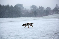 © Licensed to London News Pictures. 04/04/2012. Clent, Worcsestershire, UK. Snow covers the Clent Hills in Worcestershire. Pictured, snow playtime for this puppy on the Clent Hills.Photo credit : Dave Warren/LNP