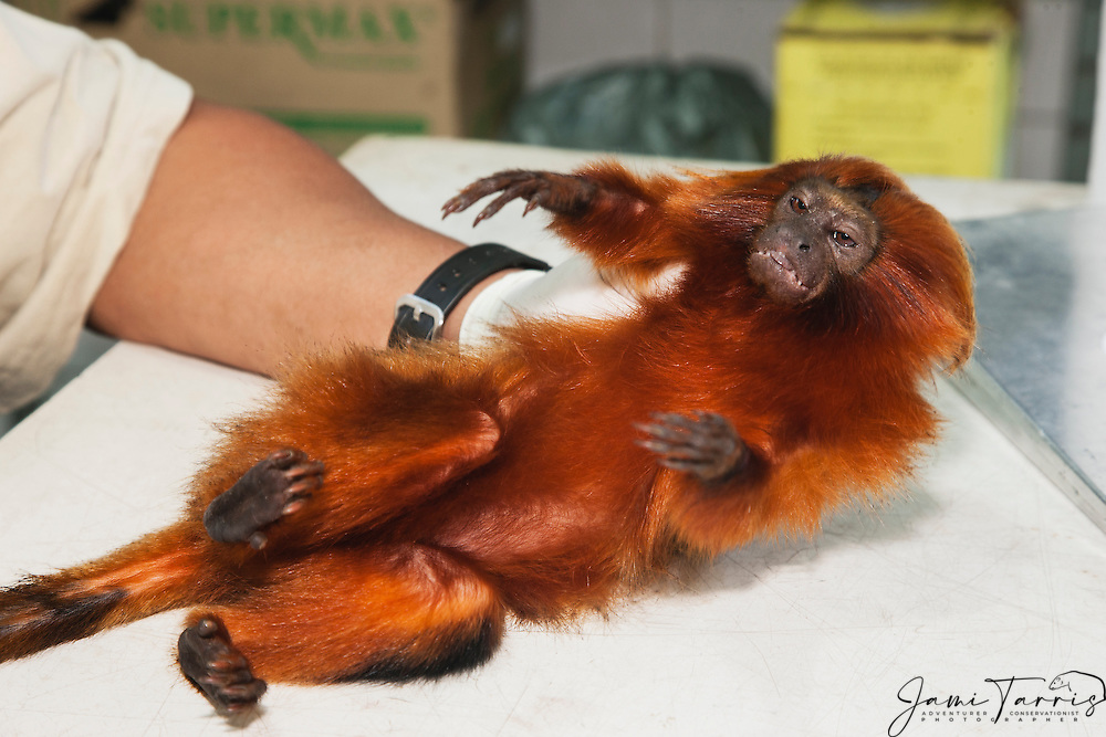 A tranquilized golden lion tamarin (Leontopithecus rosalia) is gently handled by a research biologist during a study in the lab ,Brasil, South America