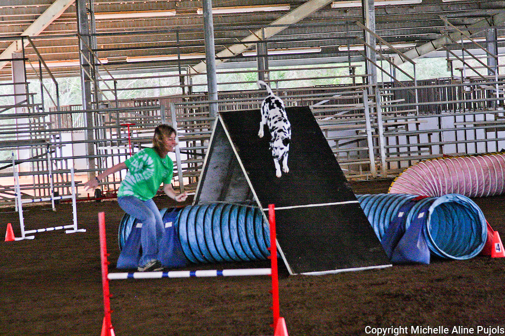 Dalmatian dog competing in agility trials.