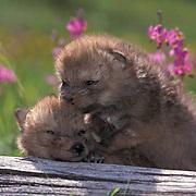 Gray Wolf, (Canis lupus) Pups in wildlfowers. Montana.  Captive Animal.