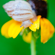 Snail climbs over Mexican Hat flower in South Texas.