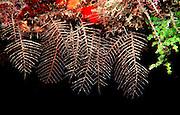 UNDERWATER MARINE LIFE CARIBBEAN, generic Colonial hydroids Serticularia speciosa