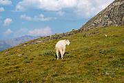 Photograph of a Mountain Goat (Oreamnos americanus) on the side of a mountain near Breckenridge, Colorado, USA.