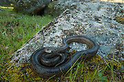 Ladder Snake (Elaphe scalaris)<br /> Sierra de Andújar Natural Park, Mediterranean woodland of Sierra Morena, north east Jaén Province, Andalusia. SPAIN<br /> RANGE: Iberia, Mediterranean littoral of France, Iles of d'Hyeres & Minorca.<br /> Largely diurnal and often found in sunny, stony habitats with some bush vegetation. They feed on small mammals it rodents and rabbits but also on birds.<br /> <br /> Mission: Iberian Lynx, May 2009<br /> © Pete Oxford / Wild Wonders of Europe<br /> Zaldumbide #506 y Toledo<br /> La Floresta, Quito. ECUADOR<br /> South America<br /> Tel: 593-2-2226958<br /> e-mail: pete@peteoxford.com<br /> www.peteoxford.com