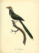 Malkohas are large birds in the cuckoo family Cuculidae, all in the genus Phaenicophaeus. The group name is derived from the Sinhala word for the red-faced malkoha; mal-koha meaning flower-cuckoo. These are all Asian tropical species. from the Book Histoire naturelle des oiseaux d'Afrique [Natural History of birds of Africa] Volume 5, by Le Vaillant, Francois, 1753-1824; Publish in Paris by Chez J.J. Fuchs, libraire 1799