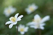 Wood Anemone, Anemone nemorosa, Curtis Wood Park, Kent UK,