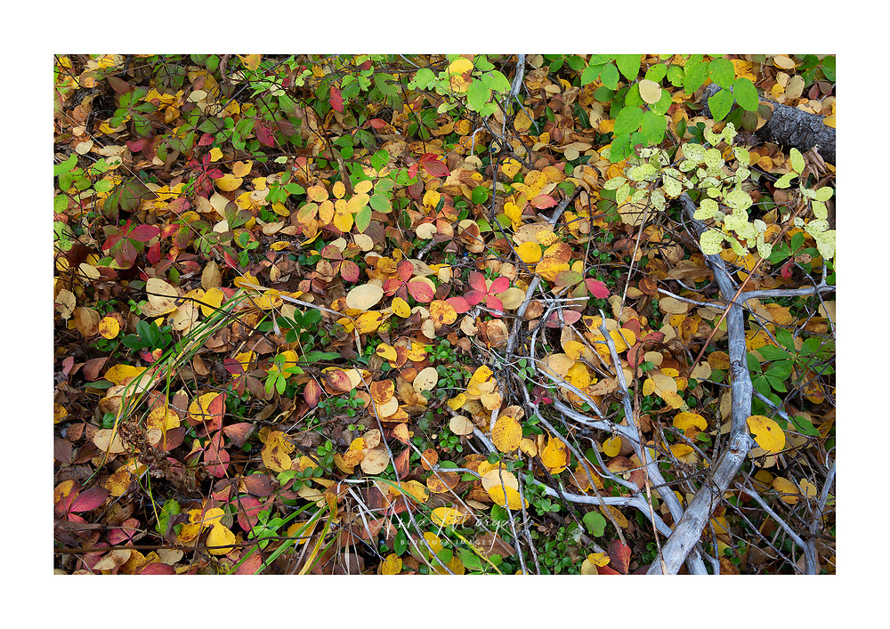 brightly coloured leaves and bunchberry plants at the base of a tree in autumn