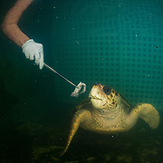 Scientists and veterinarians feed a recovering loggerhead sea turtle at the Manatee Conservation Center in Puerto Rico.