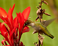 Ruby-throated Hummingbird and Canna flower. Image taken with a Nikon 1 V3 camera and 70-300 mm VR lens.