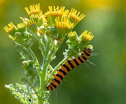 July 6, 2018 - Elkton, Oregon, U.S - A cinnabar moth caterpillar feeds on a tansy ragwort plant in a field near Elkton in rural western Oregon. The cinnabar moth was introduced to North America to help control  invasive noxious ragwort plants. (Credit Image: © Robin Loznak via ZUMA Wire)