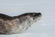 Close up of a Leopard seal (Hydrurga leptonyx) on ice floe, Antarctica.