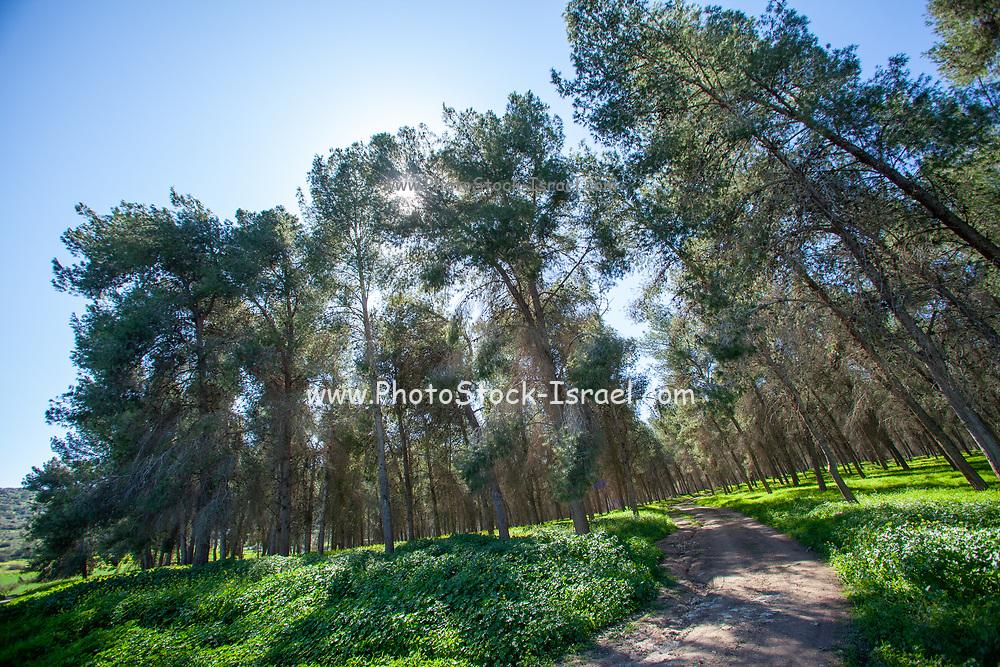 Pine tree forest on Mount Carmel, Israel