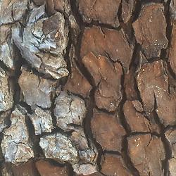 Bark Detail, China Camp State Park, San Rafael, California, US