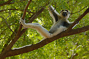 Verreaux's Sifaka (Propithecus verreauxi) reclining in tree, vulnerable, Berenty Reserve, southern Madagascar
