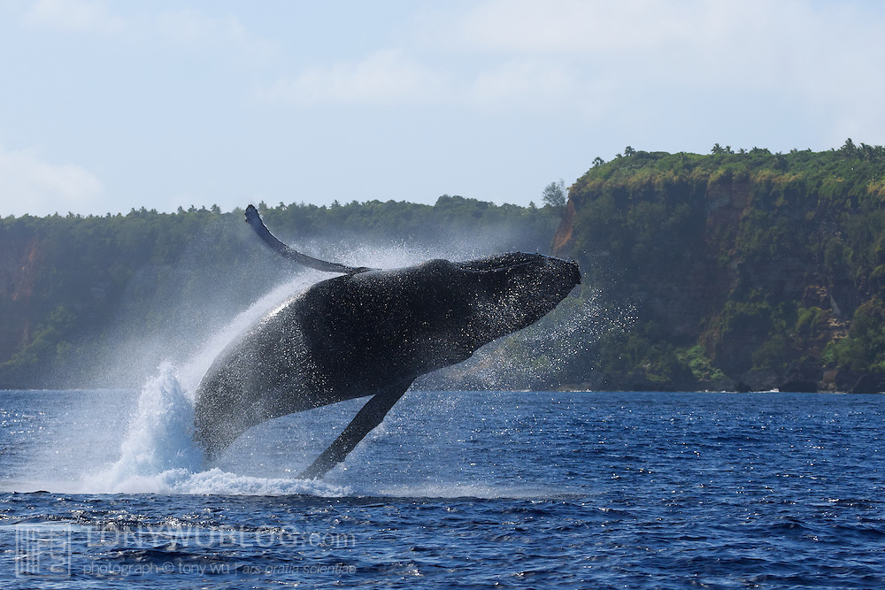 This breaching humpback whale (Megaptera novaeangliae) is a female that was with its calf (that I named Orion), the 13th I counted in the 2007 season in Vava'u, Tonga. The conditions were calm on this day, and the mother and calf spent a long time playing around the boat. The island in the background is Hunga Island.