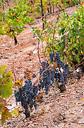 Bunches of ripe grapes. Trincadeira vines. Herdade das Servas, Estremoz, Alentejo, Portugal