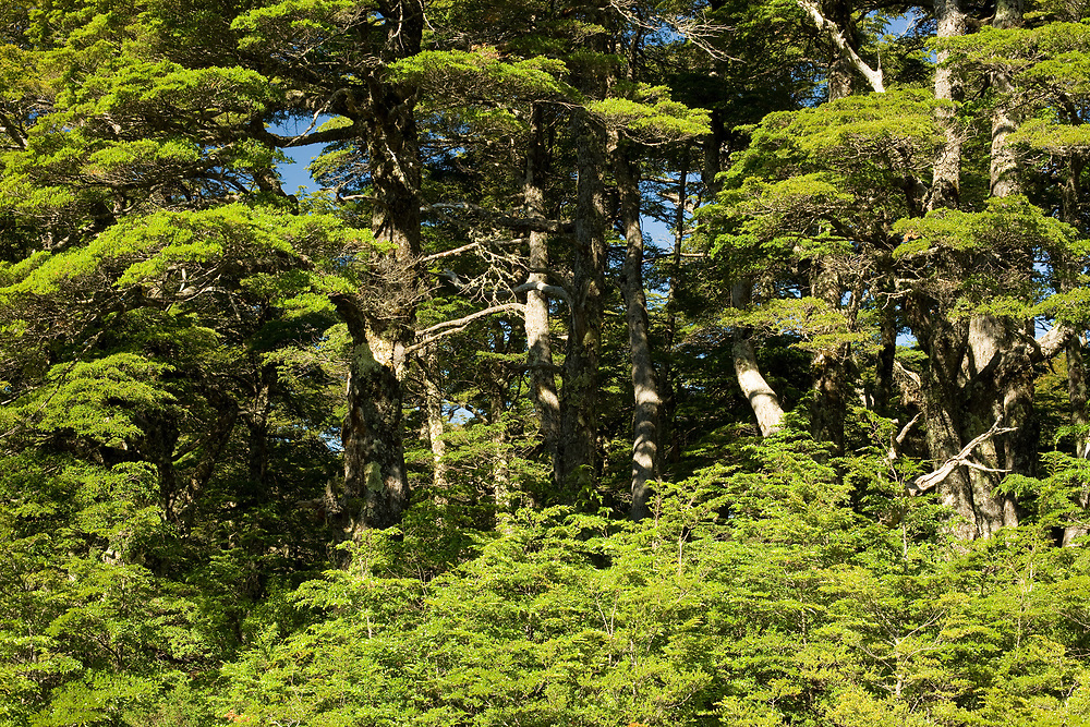 Forest in Southern Chile in the Auraucania Region