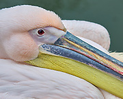 Eastern White Pelican at the Cotswold Wildlife Park, Oxfordshire, UK