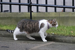 Downing Street, London, January 31 2017. Larry the Downing Street cat patrols his territory