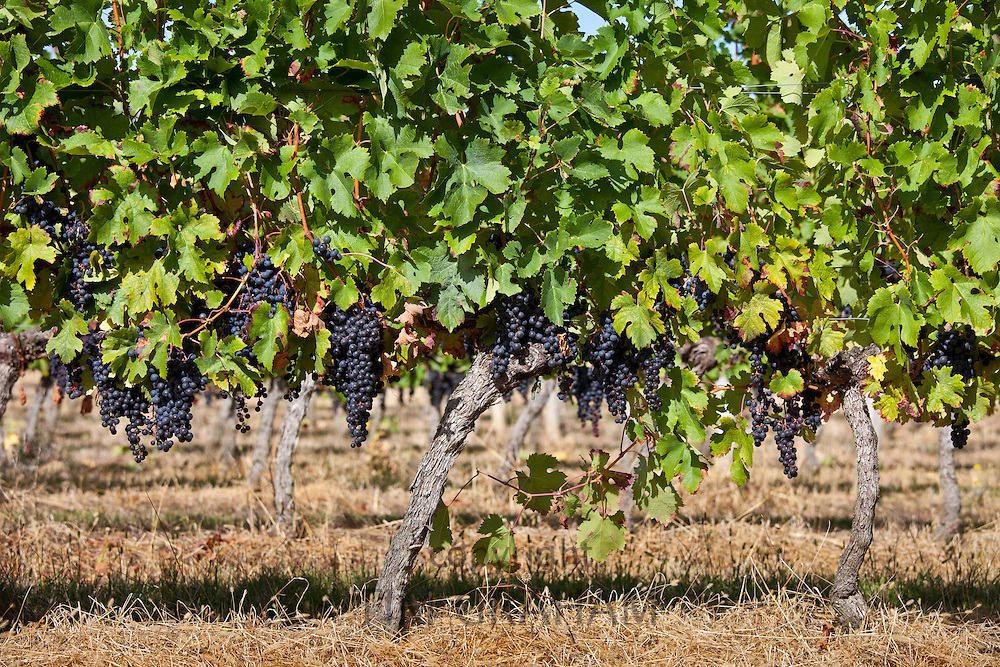 Ripe Merlot grapes on an ancient vine at Chateau Fontcaille Bellevue, in Bordeaux region of France
