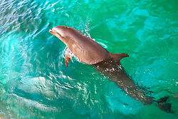 """wolphin"", hybrid between false killer whale, Pseudorca cassidens, and bottlenose dolphin, Tursiops truncatus, Oahu, Hawaii (c)"